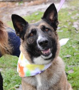 smiling German Shepherd