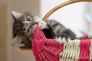 kitten with basket