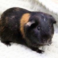 Hobbes the guinea pig