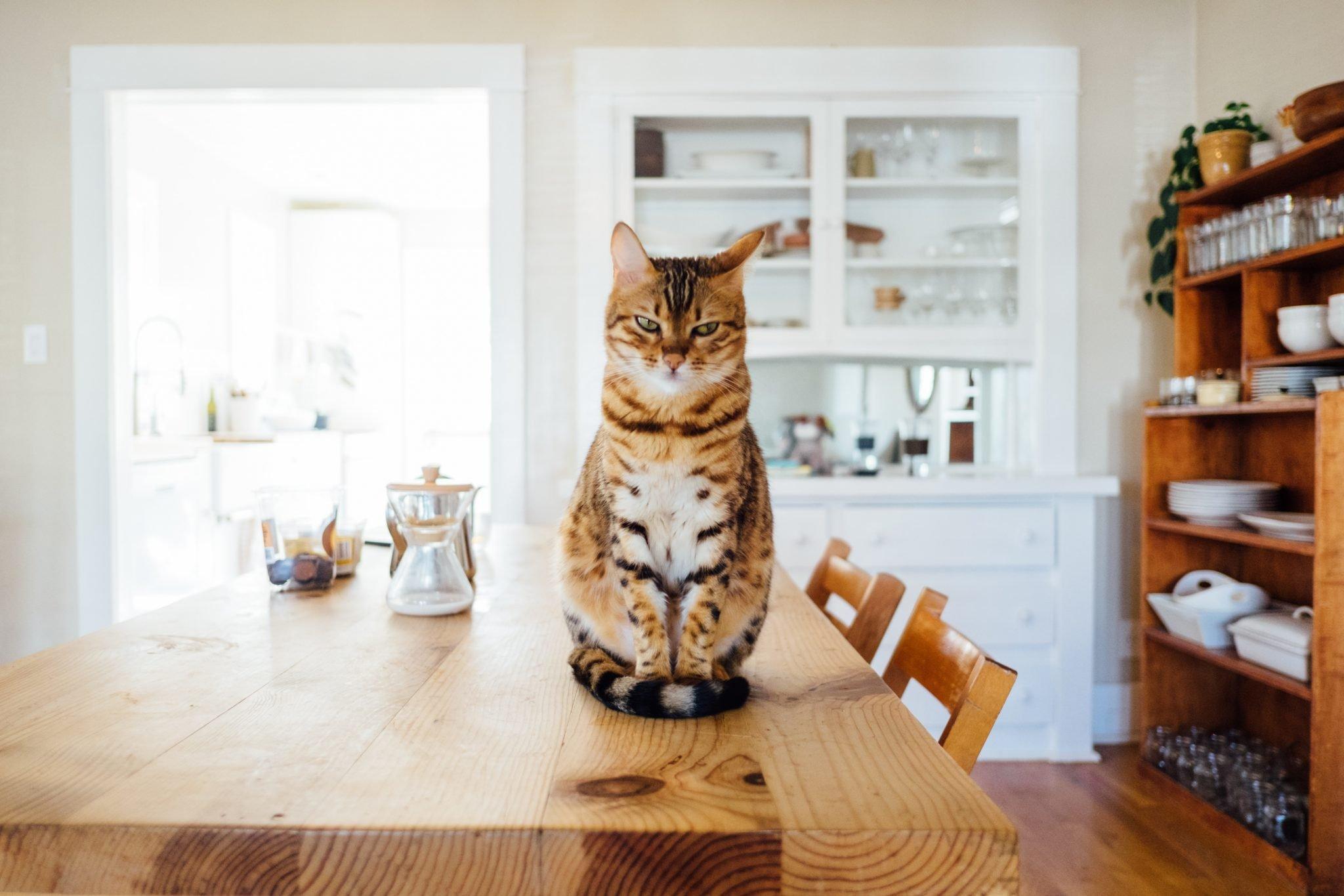 Sensational Keeping Cats Off Of Countertops Hshv Interior Design Ideas Gentotthenellocom