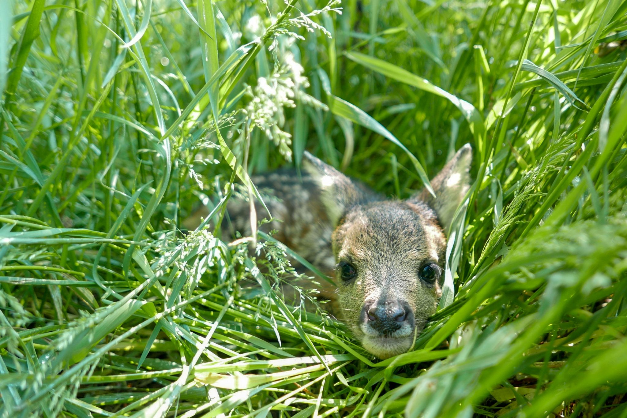 fawn hiding in the grass