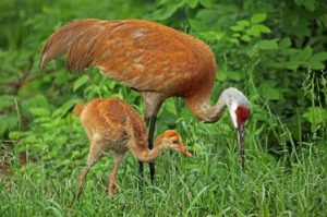 Sandhill Crane, photo by Joan Tisdale