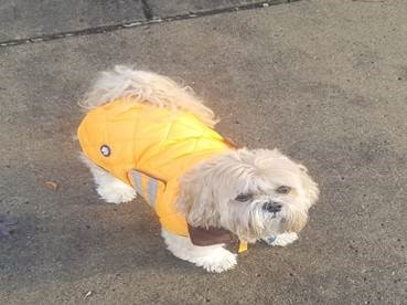 Dog wearing bright orange coat to prevent being shot