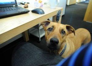 dog at a desk