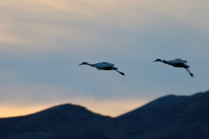 Sandhill Cranes - Photo by John Duncan on Unsplash