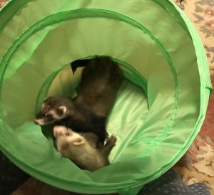 Two beautiful ferret sisters need a new home.