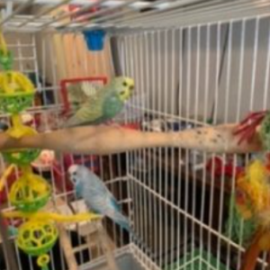 Pair of Parakeets- Looking for Love