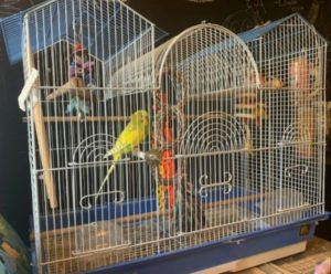Yellow and Green 3-y-o Parakeet Seeking New Home