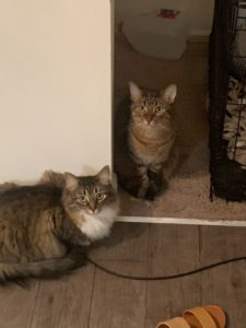 Bonded Cats Looking for a Home
