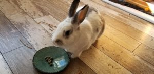 A rabbit who is people and dog friendly!
