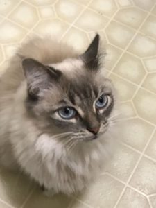 Beautiful 1/2 Ragdoll Female- Needs to be the only animal!