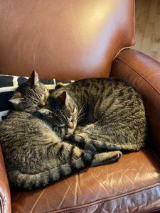 Loving Twin Boy Cats (close to 4yo)