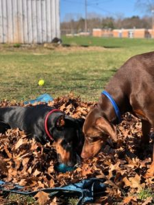 Pair of Sweet Dobermans Need a New Home Together