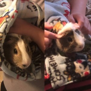 Two Male Guinea Pigs Looking for a Loving Home
