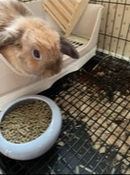 Holland Lop Female Bunny One-Year-Old