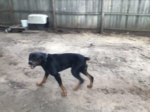 Big Sweet Rottweiler for a Loving Family