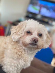 Friendly, Older Shih-tzu/Poodle mix Needing a New Home