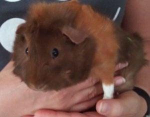 Belle the Guinea Pig