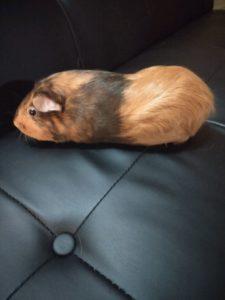 Social guinea needs new loving forever home.