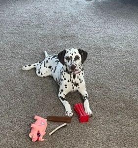 Loving Dalmatian Needs a New Home