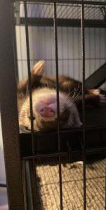 Kodiak- Ferret