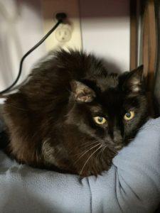 Loving Senior Black Cat Needing A Quiet Home