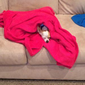 Snuggle-Buddy Chihuahua