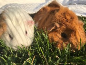 Friendly Guinea Pigs Need You