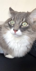 NIKO- Male Cat Looking for a Home