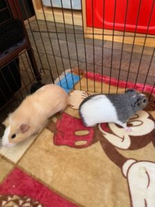 Rehoming 2 Female Guinea Pigs