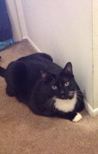 Sweet tuxedo cat needs a new home!