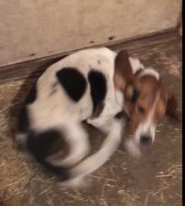 Hunting Beagle Wants a Family