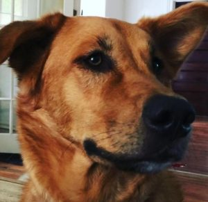 Lovable dog who would benefit from active and diligent owner with no children.