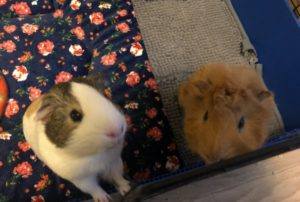 Two Bonded Guinea Pig Males Chickpea and Pinto