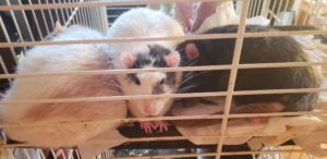 Three male rates in need of new home - cage and all items included!